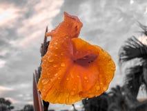 Regentropfen auf tropischer orange Blume Stockfoto