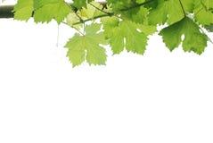 Regentropfen in den Traubenblättern Stockbilder
