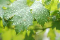 Regentropfen in den Traubenblättern Stockfotos