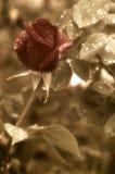 Regentropfen der rosafarbenen Knospe des Rotes rote Stockfotos
