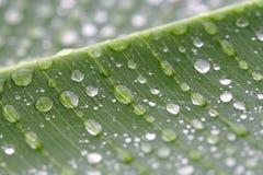 Regentropfen des Bananenblattes Stockfotografie