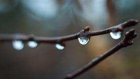 Regentropfen, die an den Buschkirschen hängen lizenzfreies stockbild