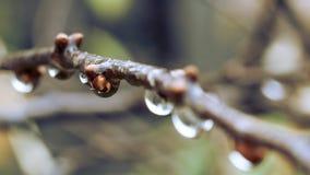 Regentropfen, die an den Buschkirschen hängen lizenzfreie stockfotos