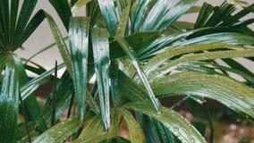 Regentropfen fließen unten auf Palmblätter Tropischer Regen in den asiatischen Ländern stock footage