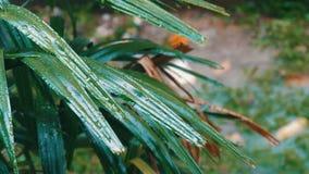 Regentropfen fließen unten auf Palmblätter Tropischer Regen in den asiatischen Ländern stock video