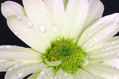 Regentropfen und Blumenblätter Stockfotografie