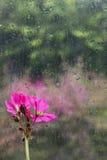 Regentropfen und Pelargonie stockbild