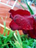 Regentropfenblume lizenzfreie stockbilder