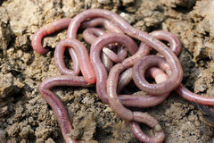 Regenwürmer in der Form Stockfotografie