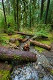 Regenwald im olympischen Nationalpark Stockfotos
