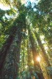 Regenwald Nationalparks Dorrigo, New South Wales, Australien stockbild