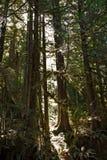 Regenwoud in het Eiland van Vancouver, BC, Canada Stock Foto's