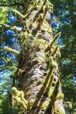 Regenwoud in het eiland van Vancouver, Brits Colombia, Canada Stock Afbeelding