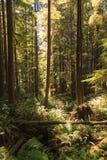 Regenwoud in het eiland van Vancouver, Brits Colombia, Canada Stock Foto's