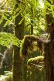 Regenwoud in het eiland van Vancouver, Brits Colombia, Canada Royalty-vrije Stock Foto's