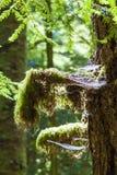 Regenwoud in het eiland van Vancouver, Brits Colombia, Canada Stock Afbeeldingen