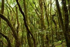 Regenwoud in nationaal park Garajonay (La Gomera) Royalty-vrije Stock Afbeeldingen