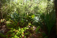 Regenwoud op Fraser Island stock fotografie