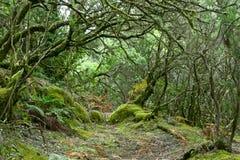 Regenwoud van La Gomera Stock Afbeeldingen