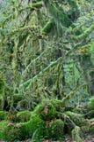 Regenwoud van Vreedzaam Noordwesten Royalty-vrije Stock Foto