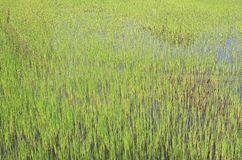 Regenzeit-Reisfelder blühen in Thailand Lizenzfreie Stockfotografie