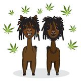 Reggae rasta alpaca animal cartoon. Illustration Stock Images