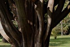 Reggia di Caserta, W?ochy 10/27/2018 Monumentalny drzewo w?r?d parka Szczeg?? baga?nik obrazy stock