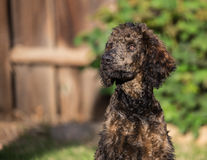 Reggie a Standard Poodle Stock Photography