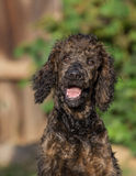 Reggie a Standard Poodle Stock Images