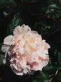 Reggiseni rosa lanuginosi freschi della cima della peonia fotografie stock
