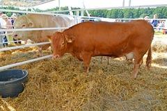 Região de Kaliningrad, Rússia Uma vaca da raça limuzinsky em uma feira agrícola imagem de stock
