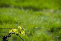 Região do vinho do Bordéus em papoilas de france no countrysi do vinhedo fotos de stock royalty free