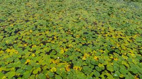 A região rara das flores de lótus da água que cresce em águas do lago fotografia de stock royalty free