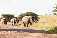 Região selvagem da sujeira dos rinocerontes dos animais selvagens Imagens de Stock Royalty Free