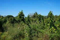 Región agrícola tropical Campo de los ñames Foto de archivo