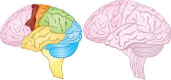 Regiões do cérebro Fotos de Stock Royalty Free