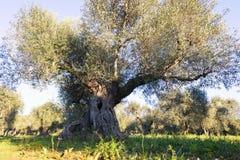 Regi?o de It?lia, Puglia, ao sul do pa?s Planta??o tradicional das oliveiras imagens de stock