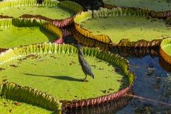 Regia Βικτώριας κρίνων νερού στο βοτανικό κήπο Maur Pamplemousses Στοκ εικόνες με δικαίωμα ελεύθερης χρήσης