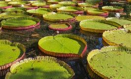 Regia Βικτώριας κρίνων νερού στο βοτανικό κήπο Maur Pamplemousses Στοκ Φωτογραφίες