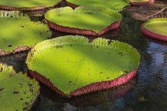 Regia Βικτώριας κρίνων νερού στο βοτανικό κήπο Maur Pamplemousses Στοκ φωτογραφίες με δικαίωμα ελεύθερης χρήσης