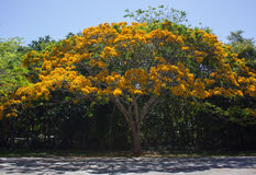 Regia amarelo do Delonix (poinciana real) fotografia de stock