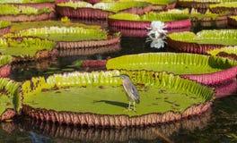Regia de Victoria de nénuphar dans le jardin botanique Maur de Pamplemousses Photo libre de droits
