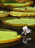 Regia de Victoria (lírio de água) no jardim botânico Imagem de Stock Royalty Free
