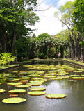 Regia de Victoria (lirio de agua) en jardín botánico Imagenes de archivo