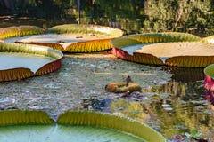 Regia de Victoria que flutua sobre águas do lago Imagens de Stock Royalty Free