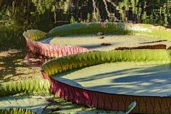 Regia de Victoria que flutua sobre águas do lago Fotografia de Stock Royalty Free