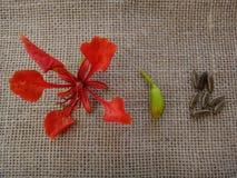 Regia del Delonix - flor, brote y semilla rojos Imagenes de archivo