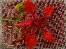Regia del Delonix - flor y brote - rojo Fotografía de archivo