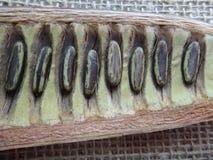 Regia del Delonix - vaina partida de la semilla y semillas maduras Imagen de archivo libre de regalías