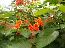 Regia Delonix ή βασιλικό Poinciana, επιδεικτικά λουλούδια στοκ φωτογραφία